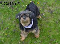 "Senior Male Dog - Yorkshire Terrier Yorkie-Shih Tzu: ""Caffu"""