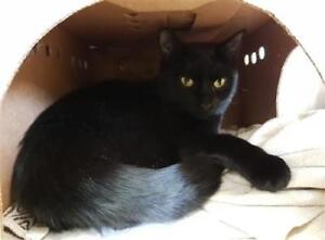 "Young Male Cat - Domestic Short Hair: ""Foxtrot"""
