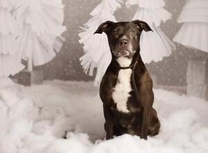 """Senior Female Dog - Pit Bull Terrier: """"Kiro"""""""