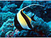 Marine Live Fish MOORISH IDOL ZANCLUS CANESCENS Large Eating Well Harrow, London