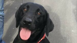 Black Lab to Good Home