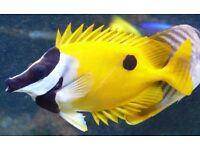 Fox face fish rabbitfish for marine tropical fish tank aquarium Leicester