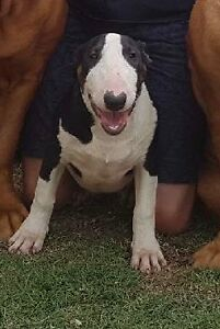 Bull terrier Springfield Lakes Ipswich City Preview