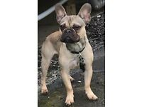 French Bulldog Male For Sale ( Fawn (Mum) / Blue (Dad) ) KC registered with all paperwork