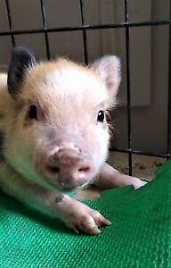 Mini Pig Kijiji In Ontario Buy Sell Save With Canadas 1