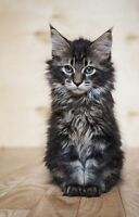 ** In search of Maine coon kitten or cat