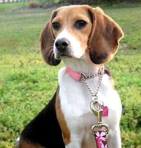 An Adult Beagle or Hound Dog