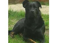 Sadly need to rehome beautiful rottweiler cross