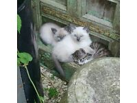 Cute Ragdoll cross British Short Hair kittens