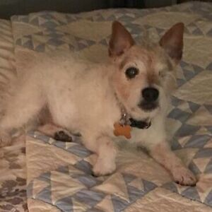 Adorable Jack Russell Seeks Forever Home