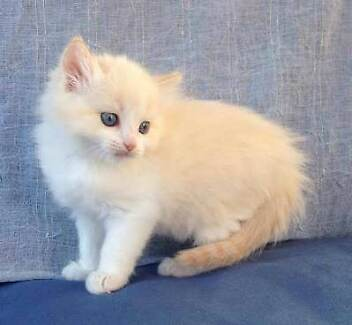 Wanted: Bicolor ragdoll kitten wanted