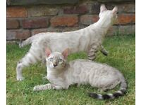 Bengal snow rosetted kittens for sale TICA registered