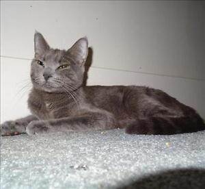 "Adult Female Cat - Domestic Short Hair: ""Purgy"""