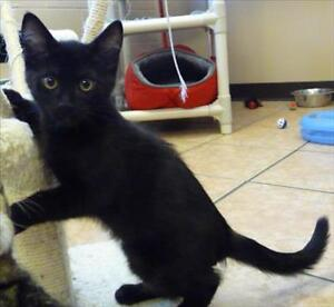 "Baby Male Cat - Domestic Short Hair: ""Sneaker"""