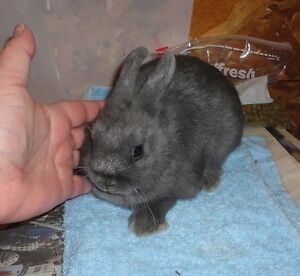 Purebred, Pedigreed. Blue Netherland Dwarf Doe