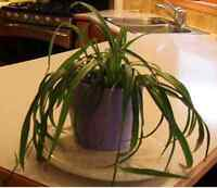 Spectacular Spider Plant in a beautiful pot