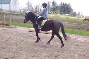 Large pony gelding for part board