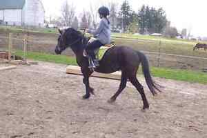 Super sweet large pony gelding for part board