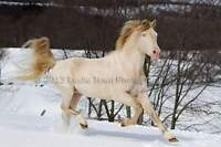 Tennessee Walking Horse ** at Stud