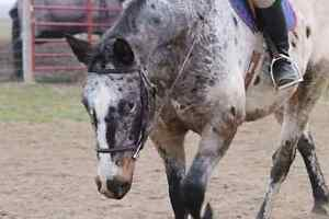Hanoverian/appy gelding available for part board