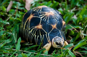Looking for radiated tortoise