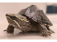 Musk turtle an full set up