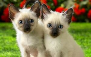 Wanted: Male Siamese Cat