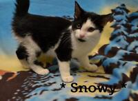 """Baby Female Cat - Domestic Short Hair-black and white: """"Snowy"""""""