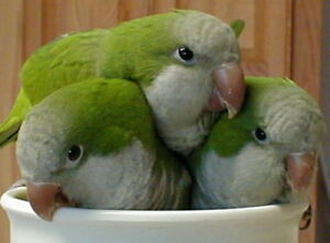 ❤**Baby Quakers with Cage **❤