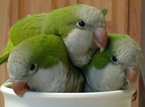 ❤️⭐❤️Friendly⭐Quakers with Cage❤️⭐❤️