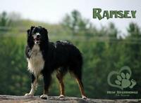"Young Male Dog - Australian Shepherd: ""Ramsey"""