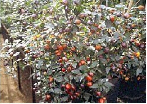 Vegetable Filius Blue Robinsons Chilli // Chili Pepper 10 Seeds