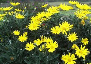 Margherita gialla euryops pectinatus pianta ornamentale for Margherita pianta