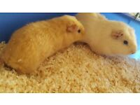 Guinea pigs bonded father and son pair