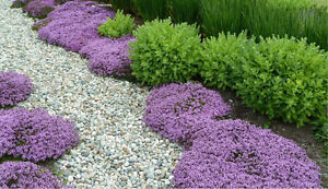 Plants perennials garden flowers creeping thyme
