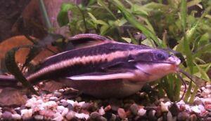 Ralph catfish