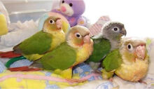 Wanted heaps of conures Thomastown Whittlesea Area Preview