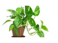 DEVILS IVY HOUSEPLANT CUTTINGS WANTED