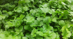 ORGANIC HERB  CORIANDER (FOR GERMINATING) 1000 SEEDS