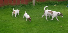 Jack Russell and padderdale Russell pups