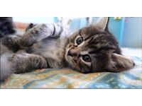 Beautiful tabby kitten !!