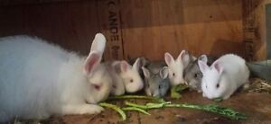 Very nice baby bunnies for sale