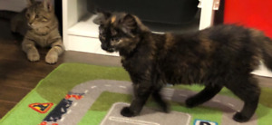 Two beautiful Tortie Female Kittens for Adoption