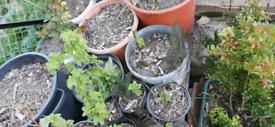 Currants plants - 100% ORGANIC
