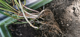 Garlic plants/roots 100%Organic