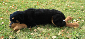 VINTAGE LARGE ROTTWEILER PLUSH DOG