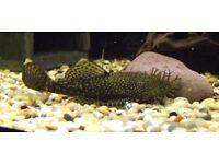 Bristlenose pleco tropical fish (Algae eaten)