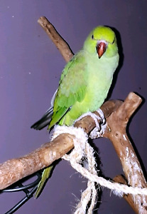 Indian Ringneck Female