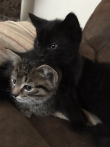 10-Week Old Kittens Looking for their Forever Homes!