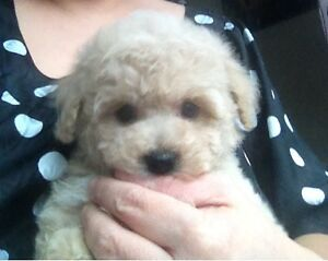 Tiny toy size creamy apricot poodle puppy